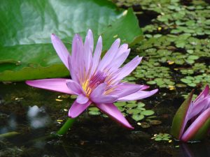 Remember The Lotus Flower The Poetry Of Suzy Kassem Suzy Kassem